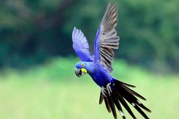Синий-попугай-Описание-особенности-виды-поведение-и-домашнее-содержание-птицы-19