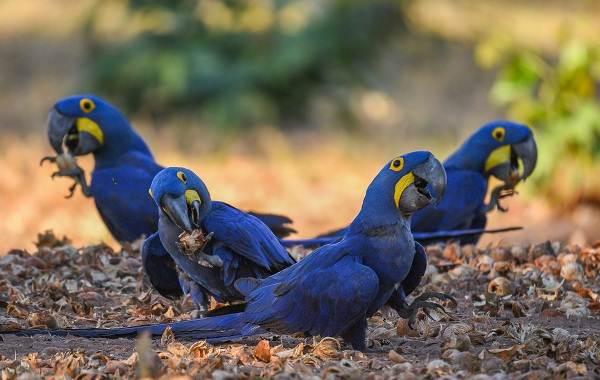 Синий-попугай-Описание-особенности-виды-поведение-и-домашнее-содержание-птицы-3