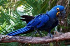 Синий попугай. Описание, особенности, виды, поведение и домашнее содержаниептицы