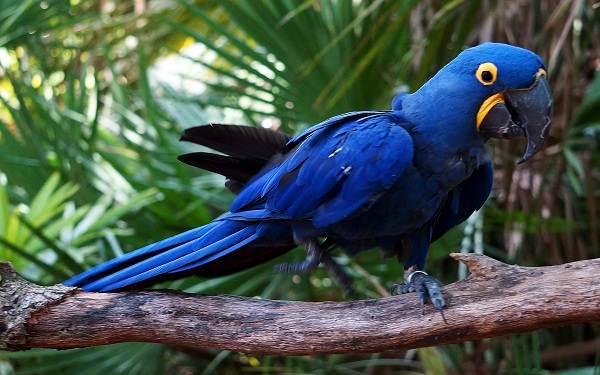 Синий-попугай-Описание-особенности-виды-поведение-и-домашнее-содержание-птицы-4