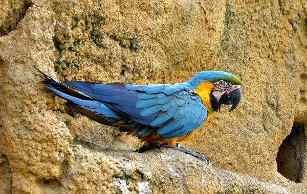 Синий-попугай-Описание-особенности-виды-поведение-и-домашнее-содержание-птицы-5