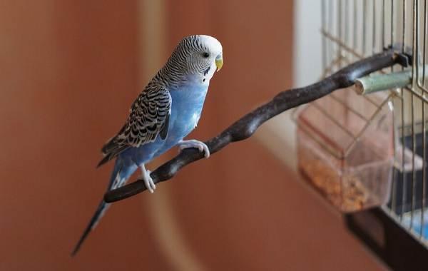 Синий-попугай-Описание-особенности-виды-поведение-и-домашнее-содержание-птицы-6