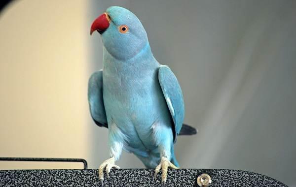 Синий-попугай-Описание-особенности-виды-поведение-и-домашнее-содержание-птицы-9