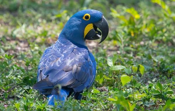Синий-попугай-Описание-особенности-виды-поведение-и-домашнее-содержание-птицы