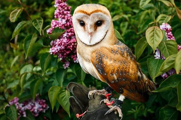 Сипуха-сова-птица-Описание-особенности-образ-жизни-и-среда-обитания-сипухи-10