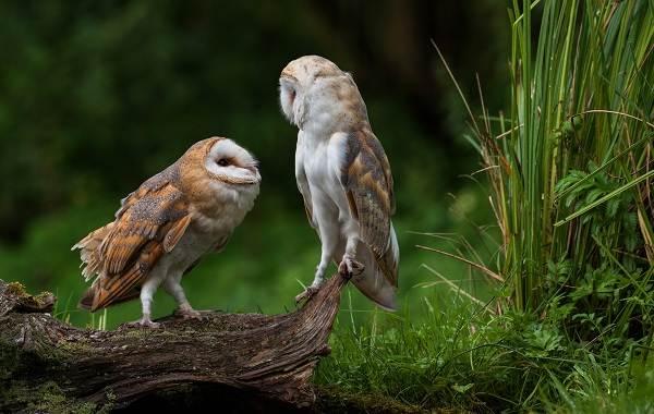 Сипуха-сова-птица-Описание-особенности-образ-жизни-и-среда-обитания-сипухи-11