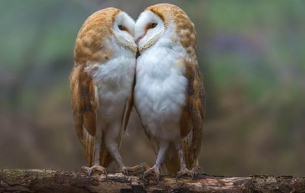Сипуха-сова-птица-Описание-особенности-образ-жизни-и-среда-обитания-сипухи-12