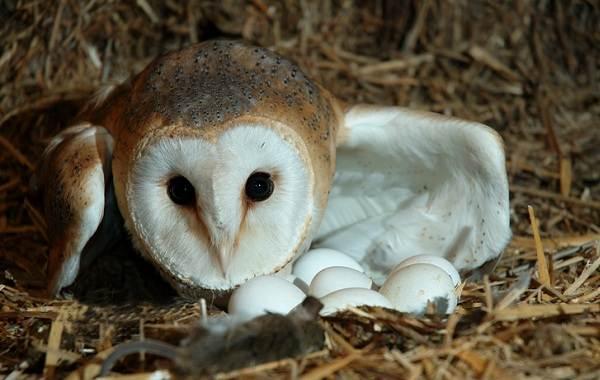 Сипуха-сова-птица-Описание-особенности-образ-жизни-и-среда-обитания-сипухи-13