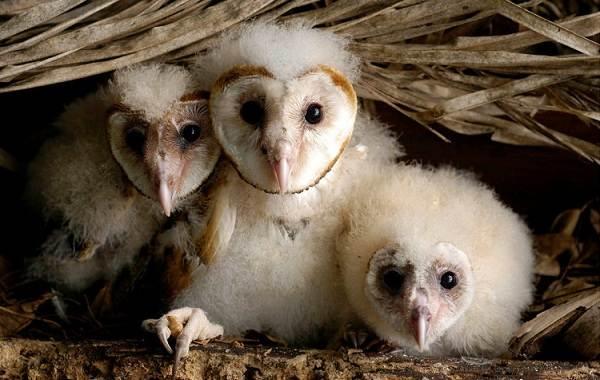 Сипуха-сова-птица-Описание-особенности-образ-жизни-и-среда-обитания-сипухи-14