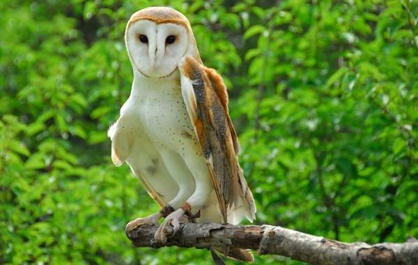 Сипуха-сова-птица-Описание-особенности-образ-жизни-и-среда-обитания-сипухи-2