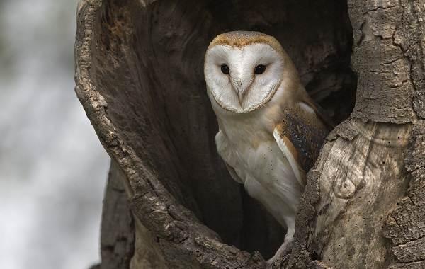 Сипуха-сова-птица-Описание-особенности-образ-жизни-и-среда-обитания-сипухи-3