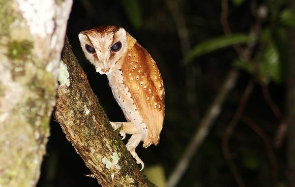 Сипуха-сова-птица-Описание-особенности-образ-жизни-и-среда-обитания-сипухи-4