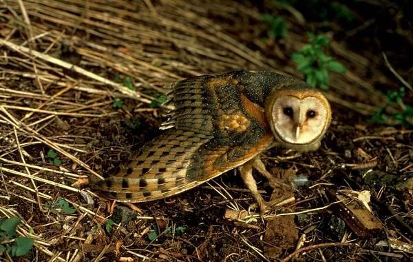 Сипуха-сова-птица-Описание-особенности-образ-жизни-и-среда-обитания-сипухи-5