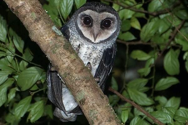 Сипуха-сова-птица-Описание-особенности-образ-жизни-и-среда-обитания-сипухи-6