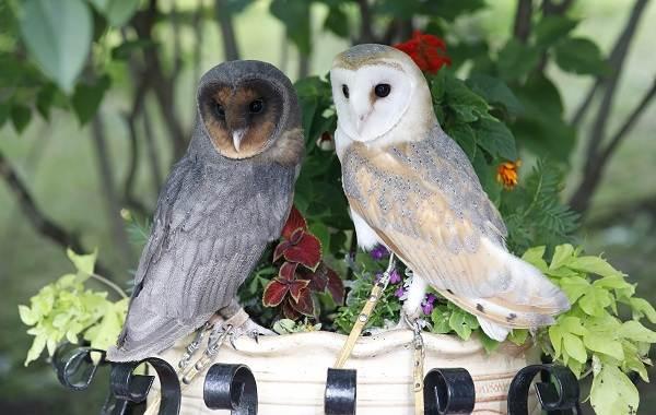 Сипуха-сова-птица-Описание-особенности-образ-жизни-и-среда-обитания-сипухи-8