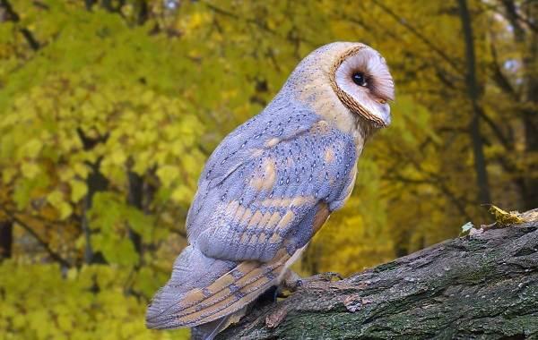 Сипуха-сова-птица-Описание-особенности-образ-жизни-и-среда-обитания-сипухи-9