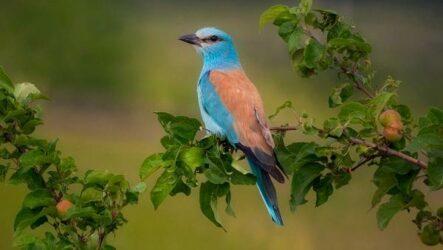 Сизоворонка птица. Описание, особенности, виды, образ жизни и среда обитания сизоворонки