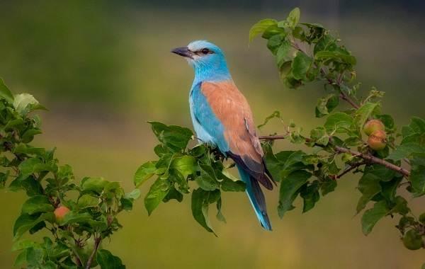 Сизоворонка-птица-Описание-особенности-виды-образ-жизни-и-среда-обитания-сизоворонки-1