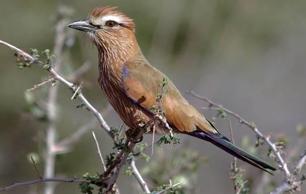 Сизоворонка-птица-Описание-особенности-виды-образ-жизни-и-среда-обитания-сизоворонки-10