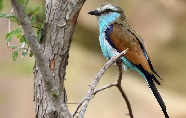 Сизоворонка-птица-Описание-особенности-виды-образ-жизни-и-среда-обитания-сизоворонки-11