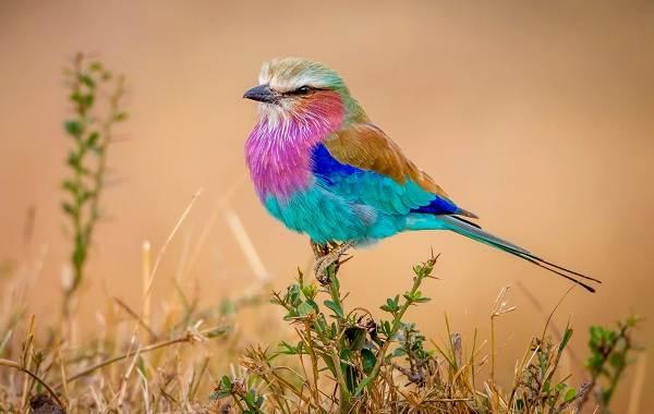 Сизоворонка-птица-Описание-особенности-виды-образ-жизни-и-среда-обитания-сизоворонки-13