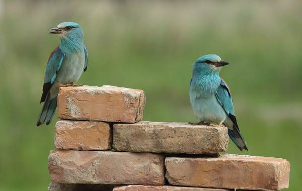 Сизоворонка-птица-Описание-особенности-виды-образ-жизни-и-среда-обитания-сизоворонки-16