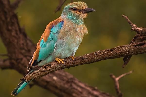 Сизоворонка-птица-Описание-особенности-виды-образ-жизни-и-среда-обитания-сизоворонки-18