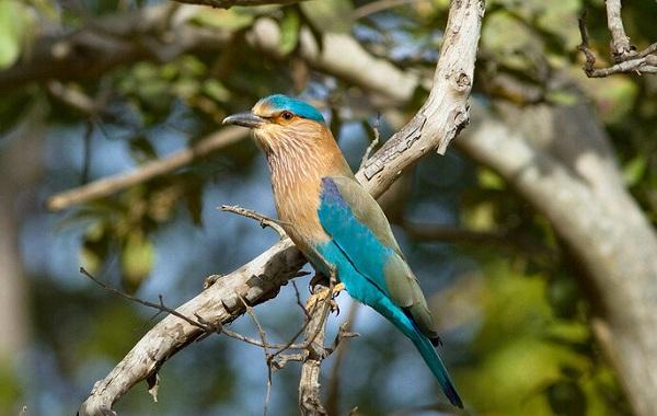 Сизоворонка-птица-Описание-особенности-виды-образ-жизни-и-среда-обитания-сизоворонки-19
