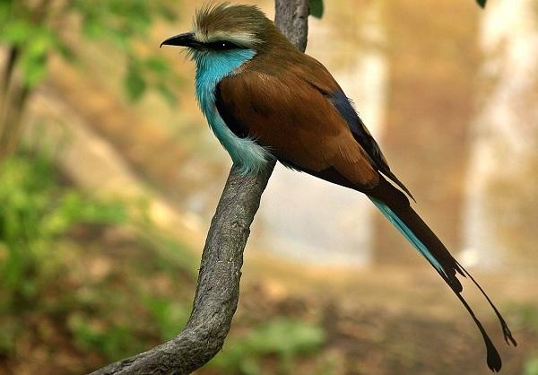 Сизоворонка-птица-Описание-особенности-виды-образ-жизни-и-среда-обитания-сизоворонки-20