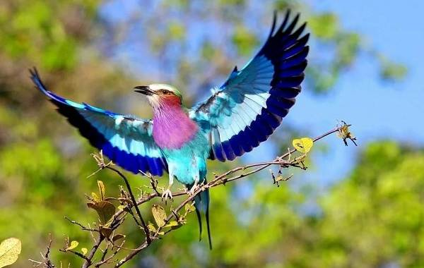 Сизоворонка-птица-Описание-особенности-виды-образ-жизни-и-среда-обитания-сизоворонки-3