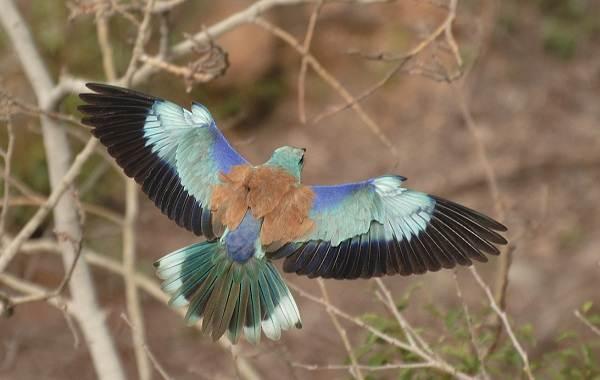 Сизоворонка-птица-Описание-особенности-виды-образ-жизни-и-среда-обитания-сизоворонки-4