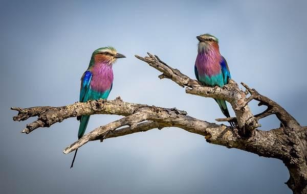 Сизоворонка-птица-Описание-особенности-виды-образ-жизни-и-среда-обитания-сизоворонки-5