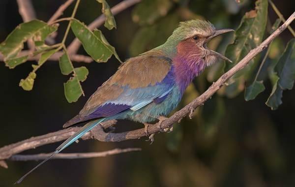 Сизоворонка-птица-Описание-особенности-виды-образ-жизни-и-среда-обитания-сизоворонки-6