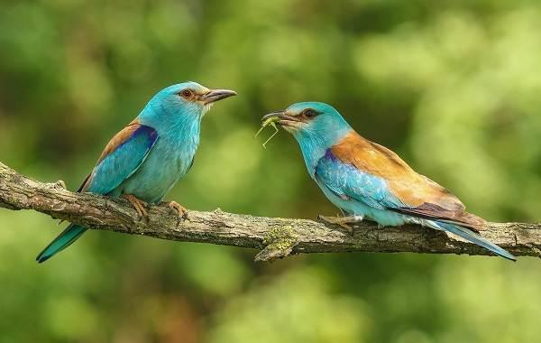 Сизоворонка-птица-Описание-особенности-виды-образ-жизни-и-среда-обитания-сизоворонки-7