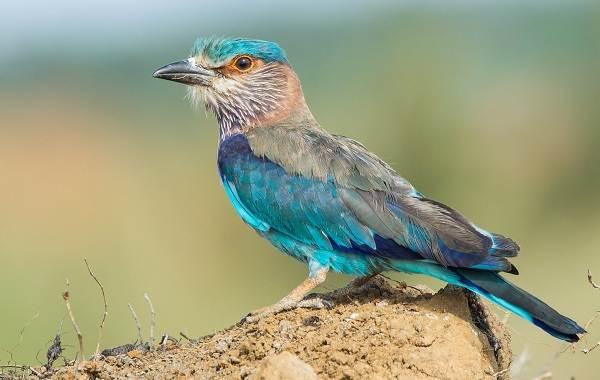 Сизоворонка-птица-Описание-особенности-виды-образ-жизни-и-среда-обитания-сизоворонки-9