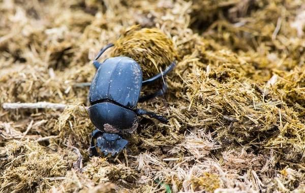 Скарабей-жук-насекомое-Описание-особенности-образ-жизни-и-среда-обитания-скарабея-10