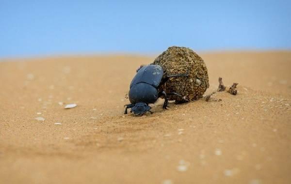 Скарабей-жук-насекомое-Описание-особенности-образ-жизни-и-среда-обитания-скарабея-2