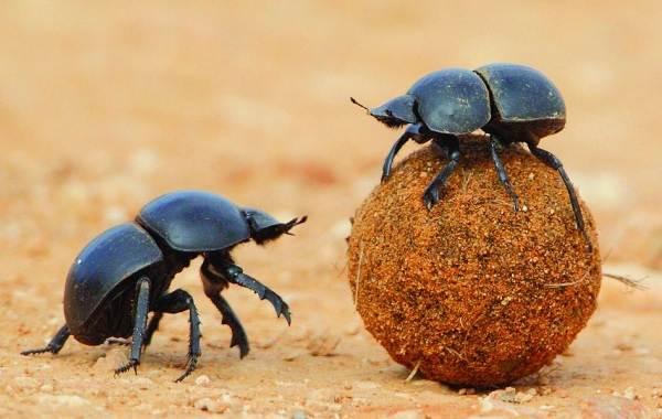 Скарабей-жук-насекомое-Описание-особенности-образ-жизни-и-среда-обитания-скарабея-4