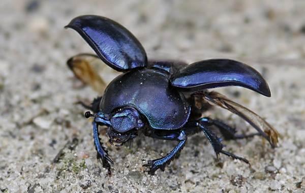 Скарабей-жук-насекомое-Описание-особенности-образ-жизни-и-среда-обитания-скарабея-5