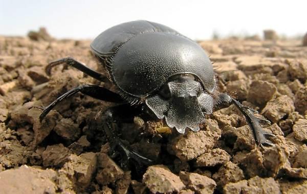 Скарабей-жук-насекомое-Описание-особенности-образ-жизни-и-среда-обитания-скарабея-6