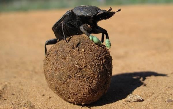 Скарабей-жук-насекомое-Описание-особенности-образ-жизни-и-среда-обитания-скарабея-7