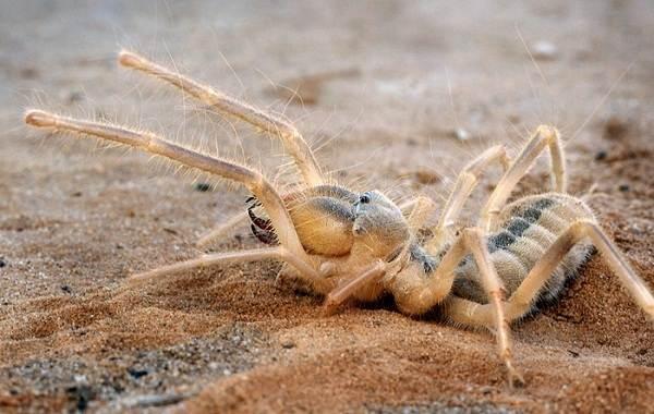 Сольпуга-паук-Описание-особенности-виды-образ-жизни-и-среда-обитания-сольпуги-10