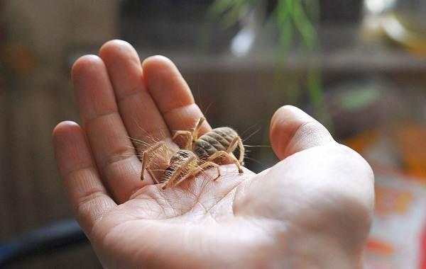 Сольпуга-паук-Описание-особенности-виды-образ-жизни-и-среда-обитания-сольпуги-11