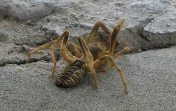Сольпуга-паук-Описание-особенности-виды-образ-жизни-и-среда-обитания-сольпуги-2