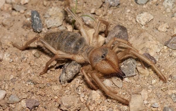 Сольпуга-паук-Описание-особенности-виды-образ-жизни-и-среда-обитания-сольпуги-4