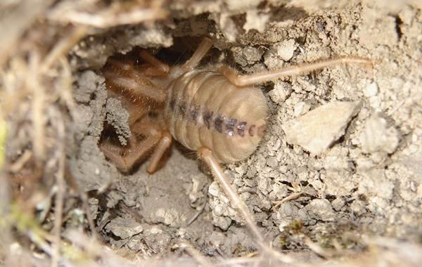 Сольпуга-паук-Описание-особенности-виды-образ-жизни-и-среда-обитания-сольпуги-7