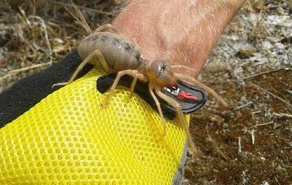 Сольпуга-паук-Описание-особенности-виды-образ-жизни-и-среда-обитания-сольпуги-9