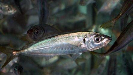 Ставрида черноморская рыба. Описание, особенности, виды, ловля и среда обитания