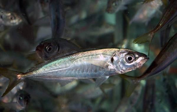 Ставрида-черноморская-рыба-Описание-особенности-виды-ловля-и-среда-обитания-1