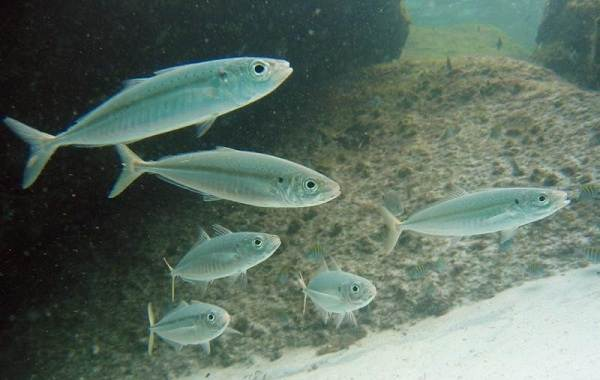 Ставрида-черноморская-рыба-Описание-особенности-виды-ловля-и-среда-обитания-10